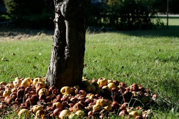 macieira e seus frutos